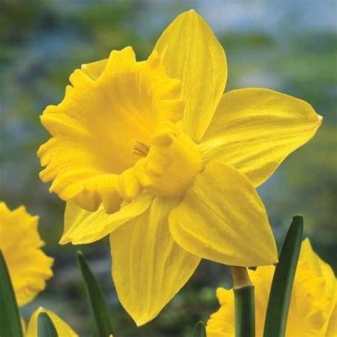 king alfred daffodil trumpet daffodil  van bourgondien