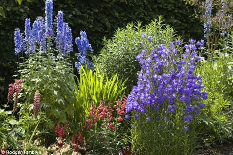 bright delphiniums will spice up your borders says nigel colborn daily mail