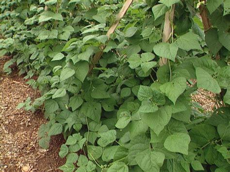 How To Grow Pole And Bush Beans  Howtos Diy
