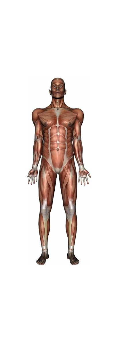 Muscles Muscle Slide Muscular System Respiration Presentation