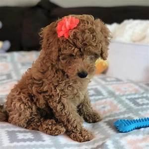 Teacup Labradoodles ⋆ Mini Doodle Dogs