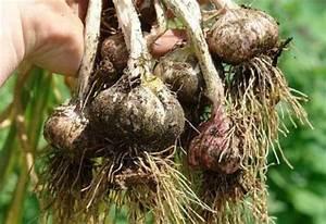 Wann Süßkartoffeln Ernten : gartenfragen an den pflanzenfreund wann kann ich knoblauch ernten ~ Buech-reservation.com Haus und Dekorationen