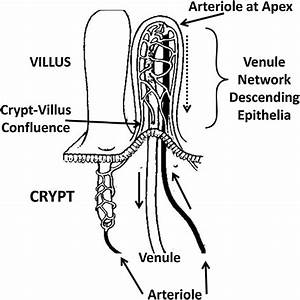 Representation Of The Villus Vascular System Emphasizing