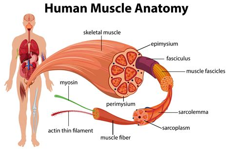 Diagram ilrating the male chest with its ociated arteries scientific. Human Muscles Diagram : human muscle system | Functions ...