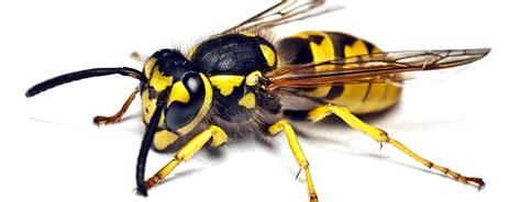 wie vertreibe ich wespen wie vertreibe ich wespen wespen fernhalten wie verhalte ich mich richtig insektum wie verhalte