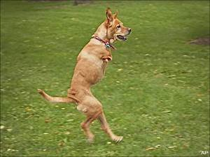 Faith The 2 Legged Dog Walks Tall