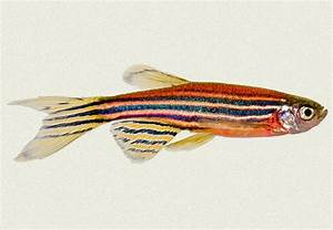 Zebra Danio Blue Red | Tropicali