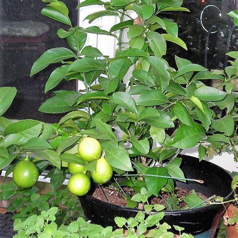 buy nimboo lemon plant   nursery