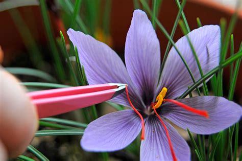 what flower is saffron from how to grow saffron gardenersworld com