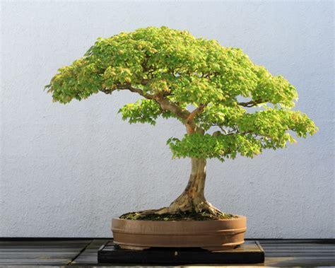 Pflege Bonsai by Bonsai Baum Kaufen Und Richtig Pflegen Einige Wertvolle
