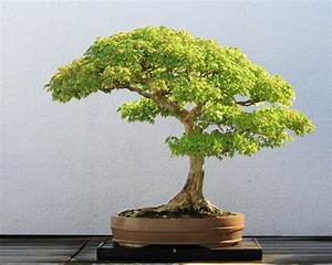 Bonsai baum kaufen und richtig pflegen einige wertvolle for Bonsai bäume pflege