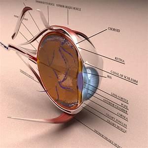 3d Model Human Eye Section