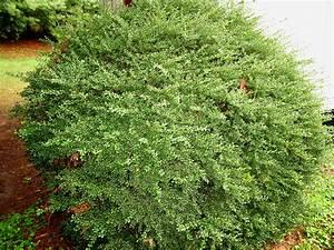 Ilex Crenata Krankheiten : online plant guide ilex crenata 39 convexa 39 convexa japanese holly ~ Orissabook.com Haus und Dekorationen