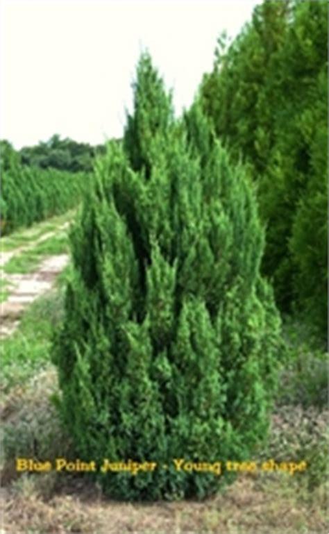 blue point juniper