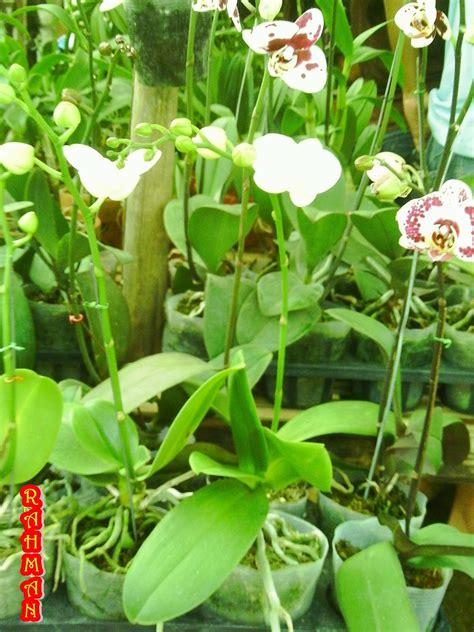 jual tanaman hias anggrek bulan paleonopsis