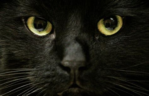 city  toronto waives black cat adoption fees  black