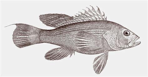 bass sea grouper side venomous atlantic marine western ocean striata vector