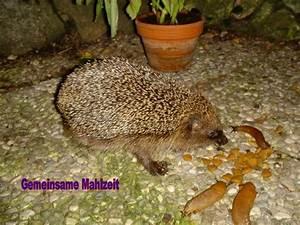 Was Fressen Schnecken : von wegen igel fressen schnecken gemeinsam fressen sie katzenfutter f rstenfeldbruck ~ Orissabook.com Haus und Dekorationen