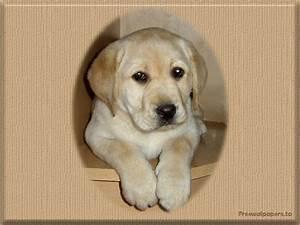 labrador puppy wallpaper