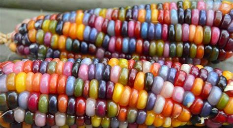 colored corn rainbow corn oklahoma farmer breeds rainbow corn