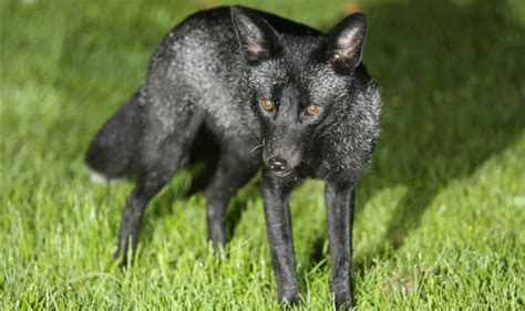 black fox sighted  uk    time  uk