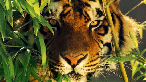fond tigre ecran tigres tycoon zoo microsoft