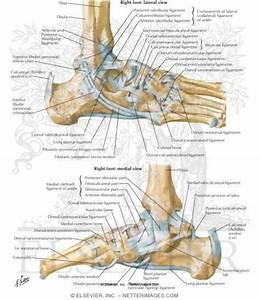 Foot Tendons Anatomy