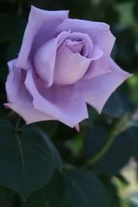 Mainzer Fastnacht Rose : 127 besten bluewhitepink garden bilder auf pinterest lila rosen ~ Orissabook.com Haus und Dekorationen