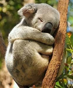 Sleeping koala bear | Wildlife | Pinterest