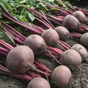 Baby Beet Action Seeds  From D T Brown