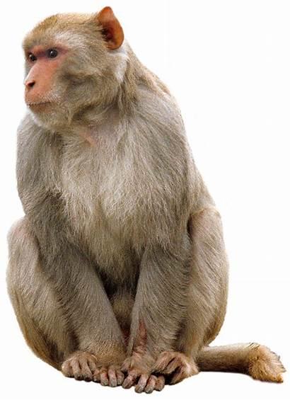 Monkey Transparent Animals Purepng App