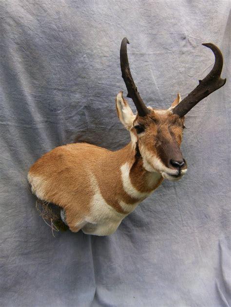 showpiece taxidermy south dakota antelope mounts