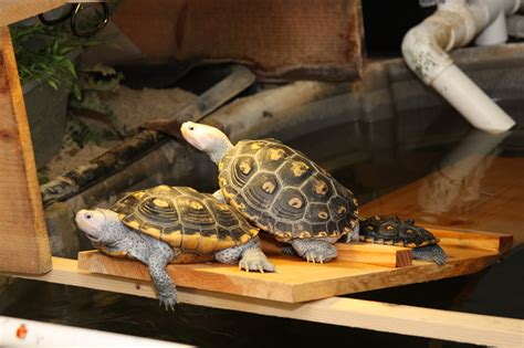 res turtle shell shedding 10 res turtle shell shedding how can i prevent my