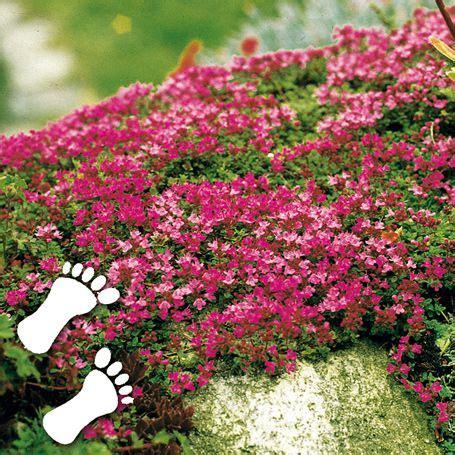 Lange Blühende Pflanzen by Polsterthymian Bodendecker In Unserem Garten