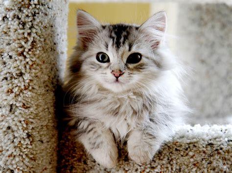 Cat Breeders by Top 10 Siberian Cat Breeders Amo
