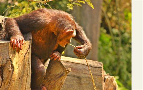 Ein starkes team auf dvd. Chimp Eden Südafrika - Ein Zuhause für Schimpansen ...