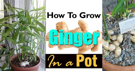 How To Grow Ginger In Pot  Growing Ginger Indoors