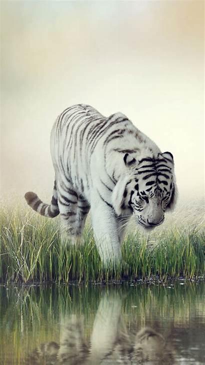 Tiger Iphone Wallpapers 6s Meizu M5 Gambar