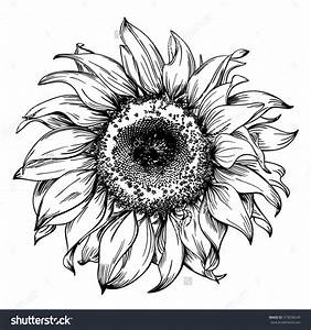 Hand Drawn Realistic Vintage Sunflower Pen And Ink Drawing ...