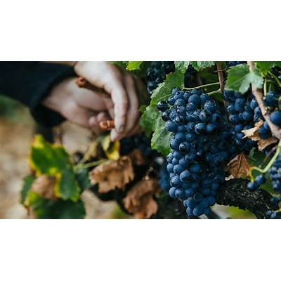 Wine Harvest 2015: Southern Rhône Winemakers Call It a