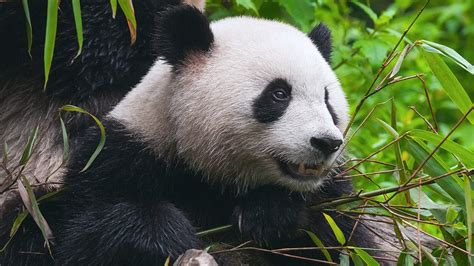 China's New Panda Park Will Be The Size Of Massachusetts