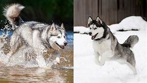 What's the Difference Between an Alaskan Malamute and a ...