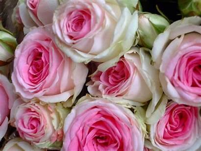 Bouquet Rose Pink Roses Cabbage Esperance Desktop