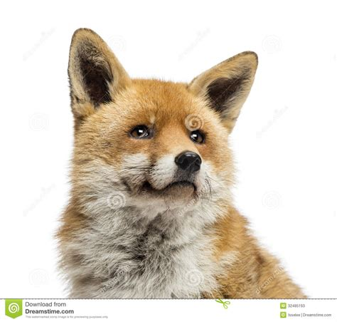 Close-up Of A Red Fox Looking Up, Vulpes Vulpes, Isolated