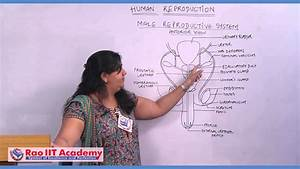 Introduction of Male Reproductive System - NEET AIPMT ...