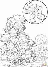 Oak Coloring Bur Pages Drawing Printable Trees Drawings Designlooter Getdrawings Categories sketch template