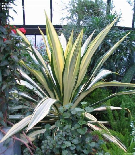 plantfiles pictures mauritius hemp mediterranean hemp