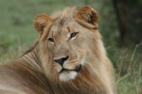 lions return  plains  camdeboo blog samara private