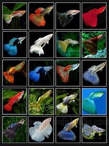 Optimale Aquarium Temperatur : imported guppies for sale online india imported aquarium fish aquarium online shopping india ~ Yasmunasinghe.com Haus und Dekorationen