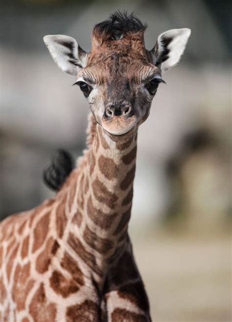 rare baby rothschild giraffe  popular  flamingo land